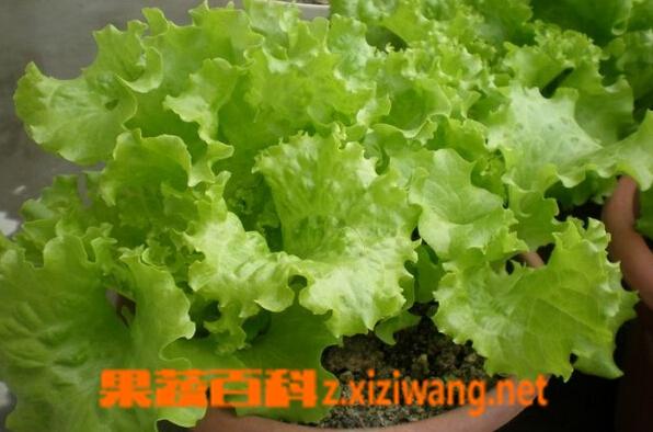 果蔬百科玻璃生菜